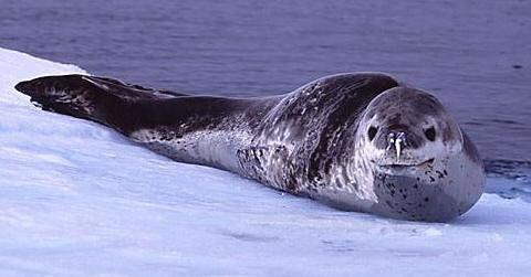 Морские леопарды предпочитают держаться в одиночку, в небольшие группы...